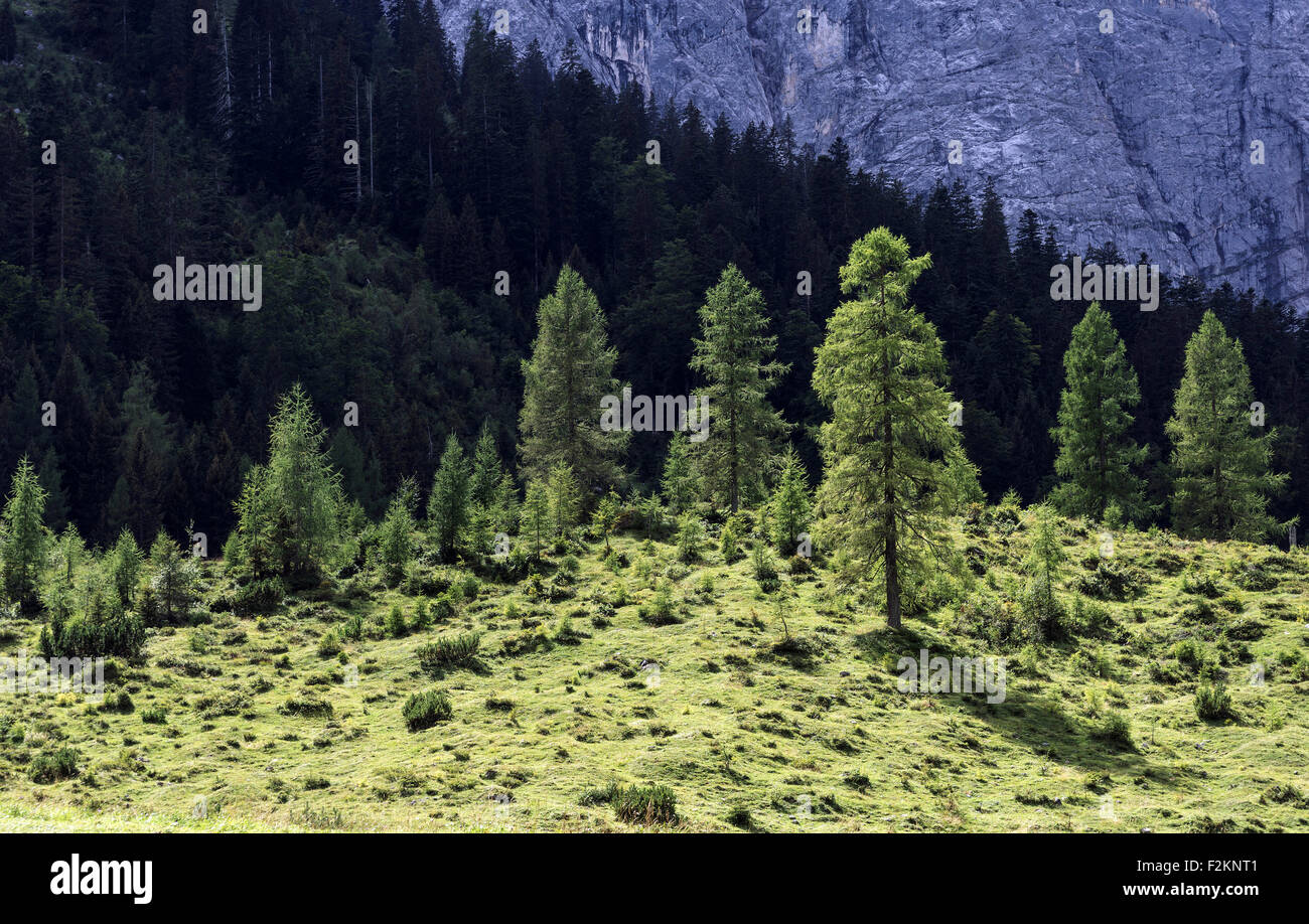 Conifer trees, backlit, Eng, Karwendel, Tyrol, Austria - Stock Image