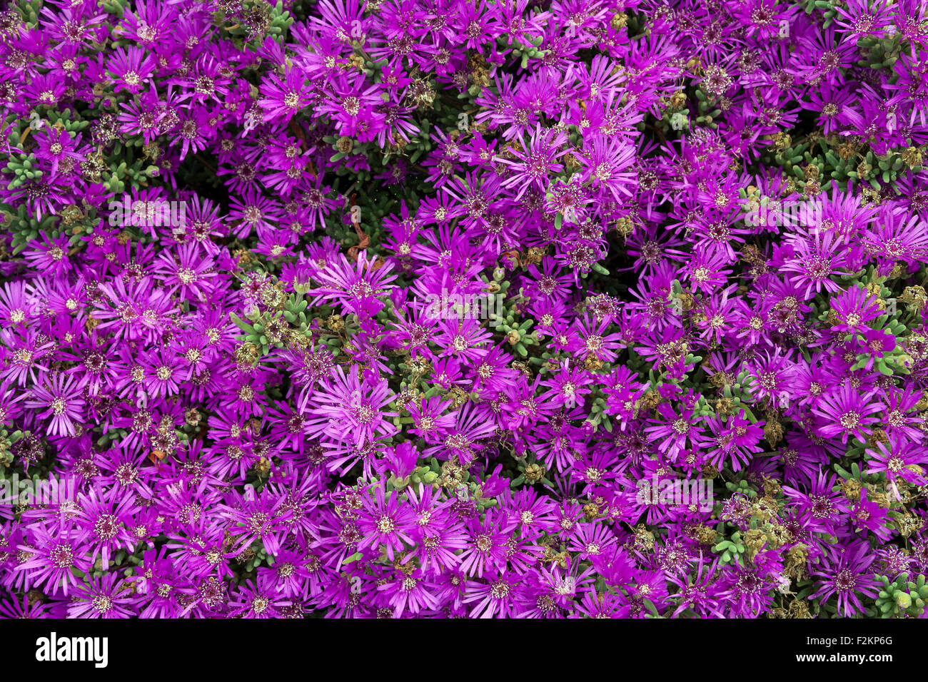 Cooperi stock photos cooperi stock images alamy for Jardin canario tafira
