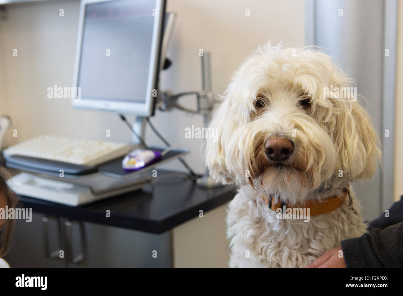 Veterinarian examining white dog - Stock Image