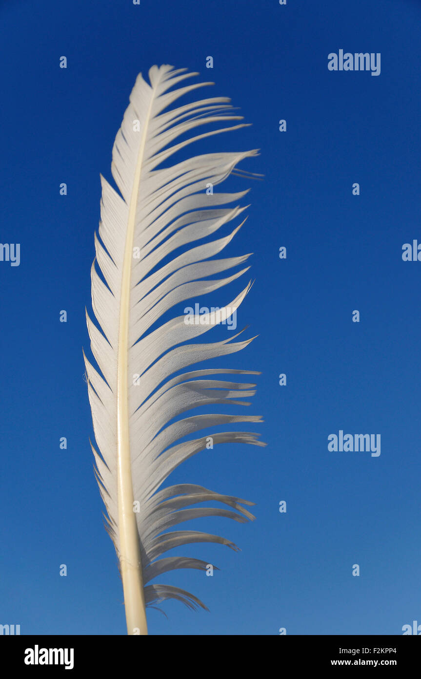 White feather in the wind, against a blue sky Stock Photo