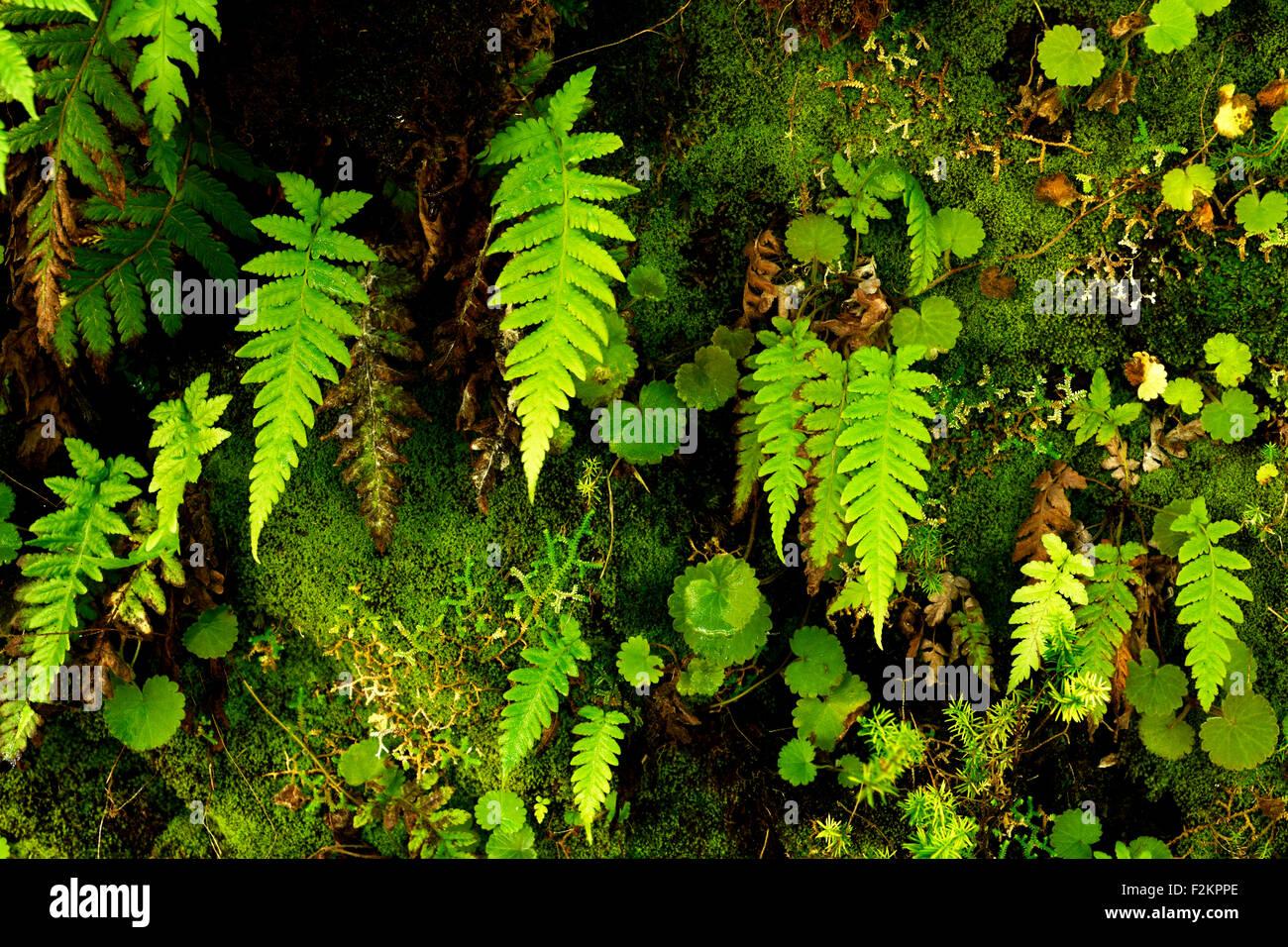 Rock wall with ferns (Polypodiopsida, Filicopsida) growing on it, Rabaçal, Madeira, Portugal Stock Photo