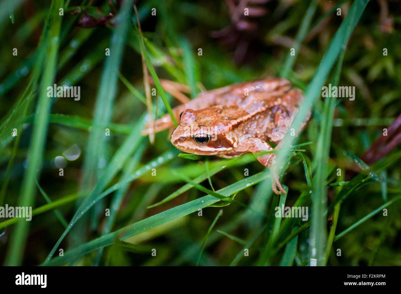 Common European Frog (Rana Temporaria) in wet grass in County Wicklow in Ireland - Stock Image