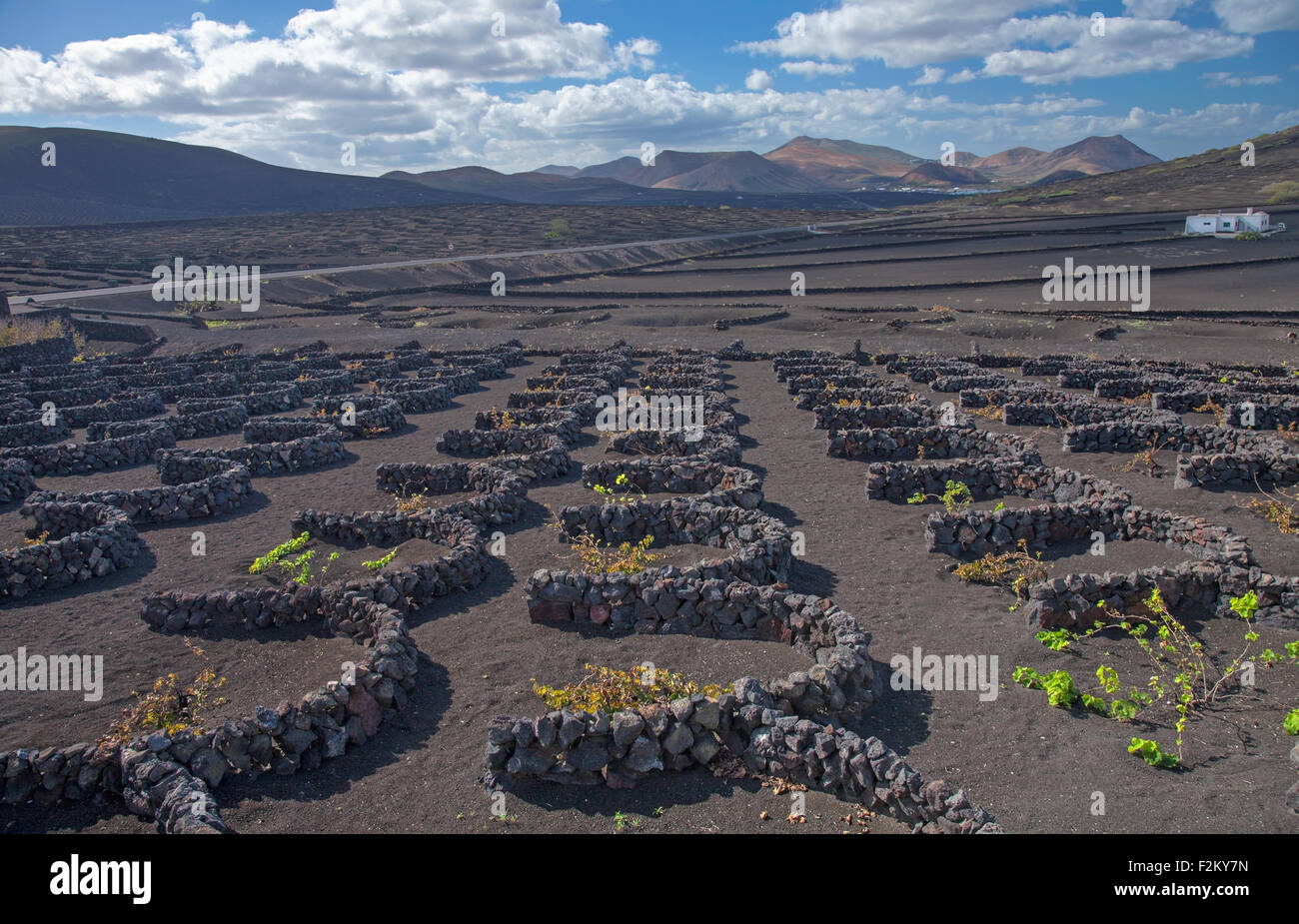 La Geria, Lanzarote, Canary Islands, vines are groung in volcanic ash compartments; dew capturing - Stock Image