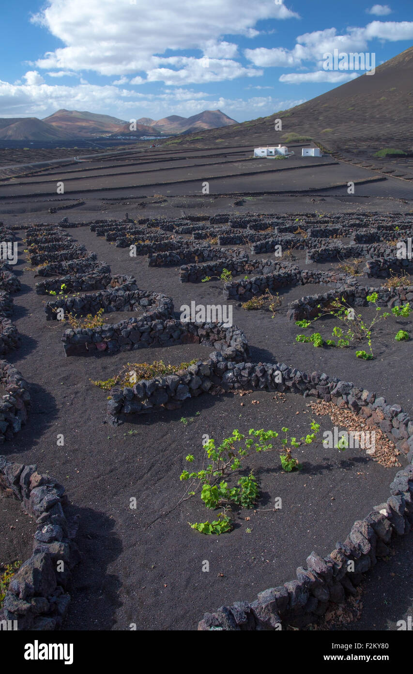 La Geria, Lanzarote, Canary Islands, vines are groung in black volcanic ash compartments; dew capturing - Stock Image