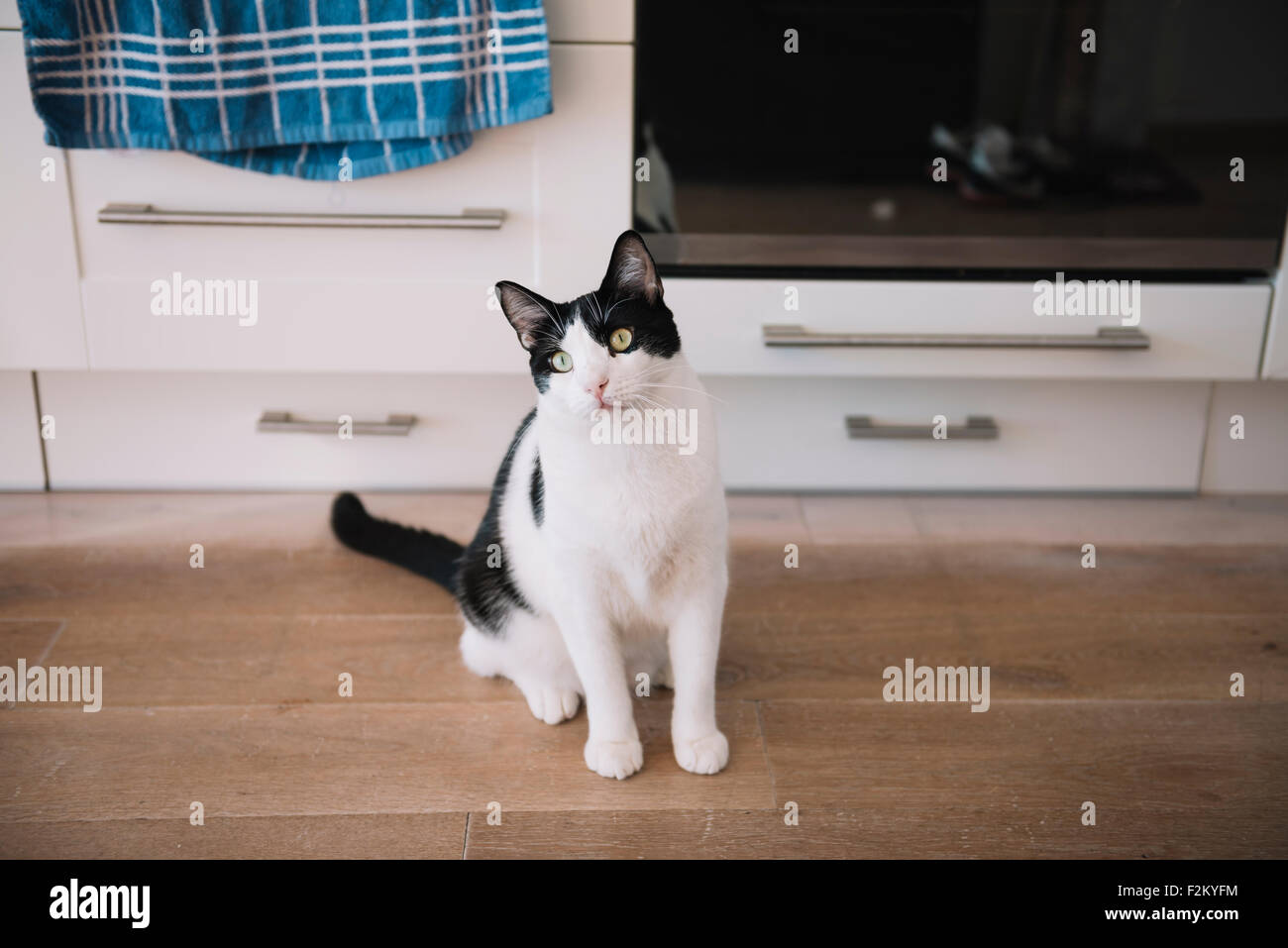Black and white cat sitting on the kitchen floor waiting for food Stock Photo