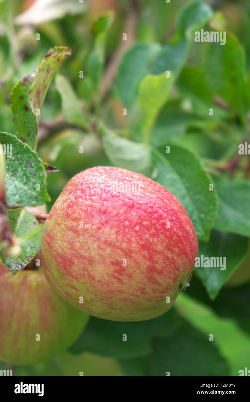 Ripe apples covered in morning dew in an apple tree orchard - Stock Image