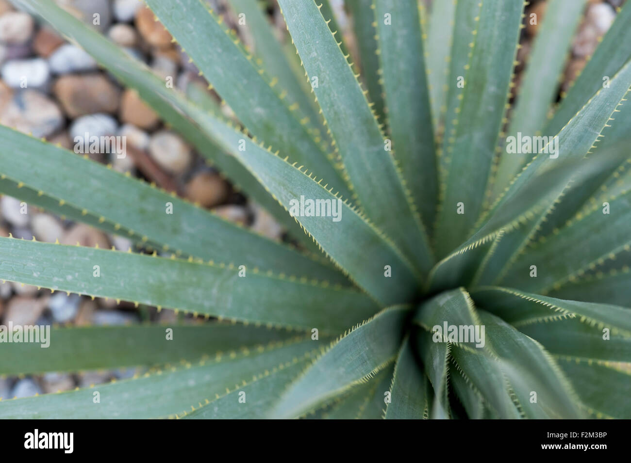 Dasylirion wheeleri. Spoon flower leaves with spines - Stock Image