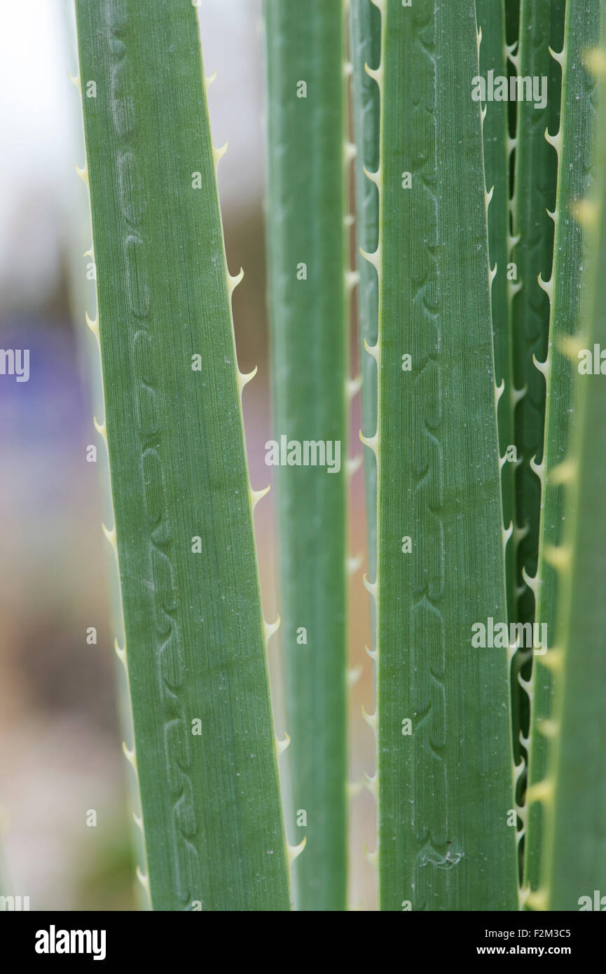 Dasylirion wheeleri. Spoon flower narrow leaves with spines - Stock Image