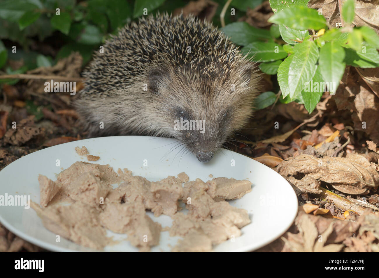 Hedgehog eating cat food off a plate in a garden - Stock Image