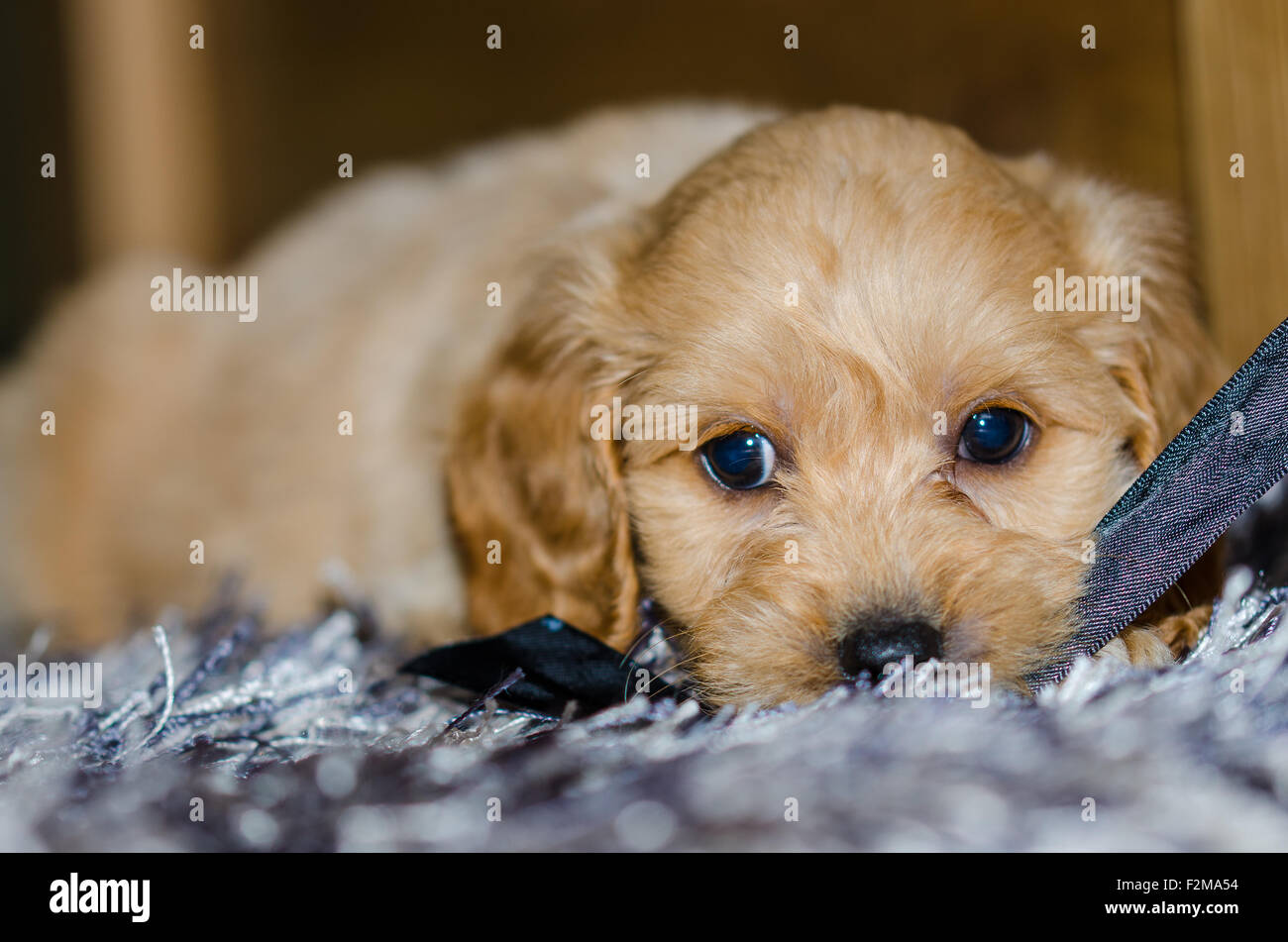Cute puppy lying on a rug - Stock Image