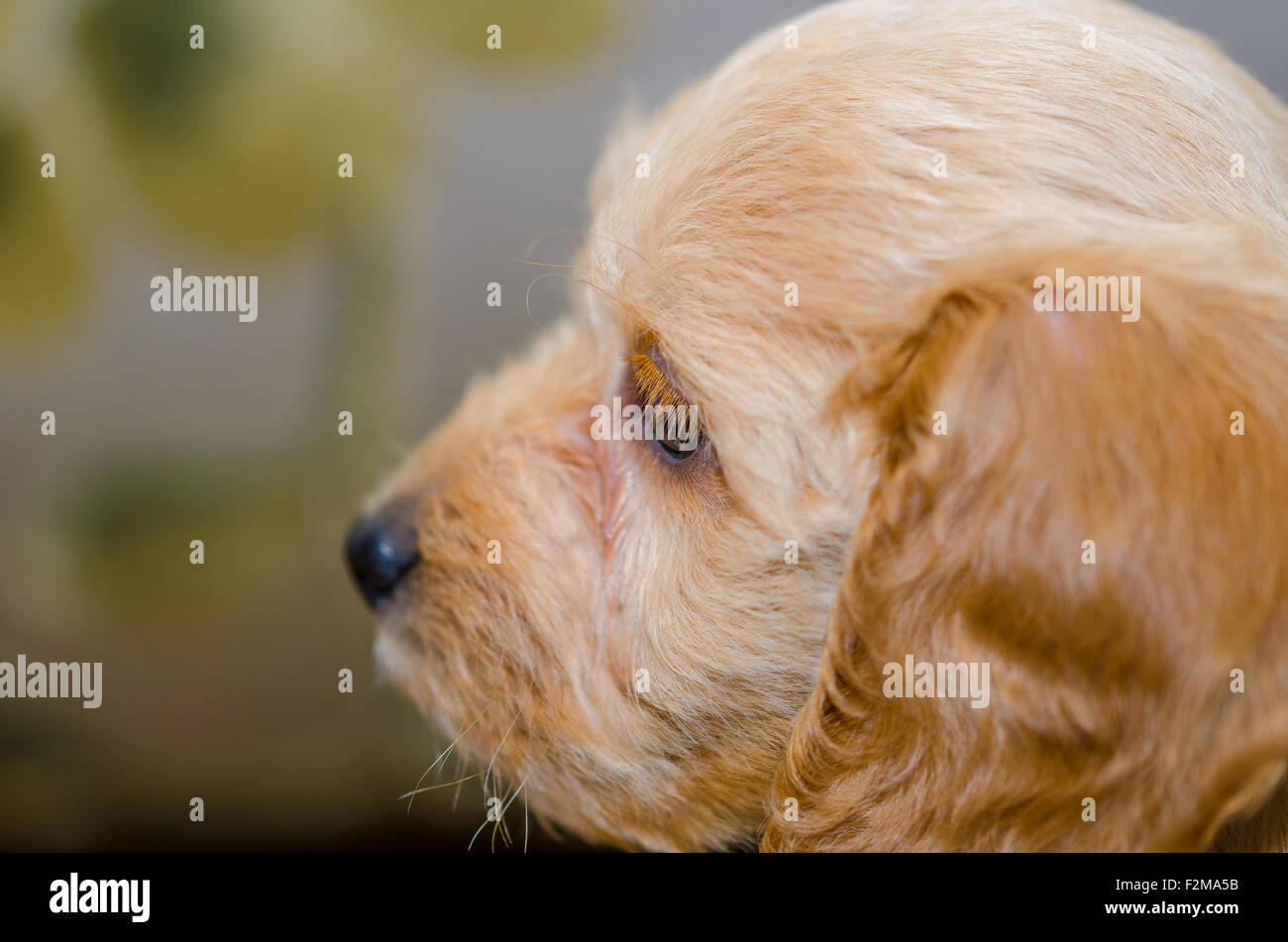 Cockerpoo puppy close-up of head, 8 weeks old - Stock Image
