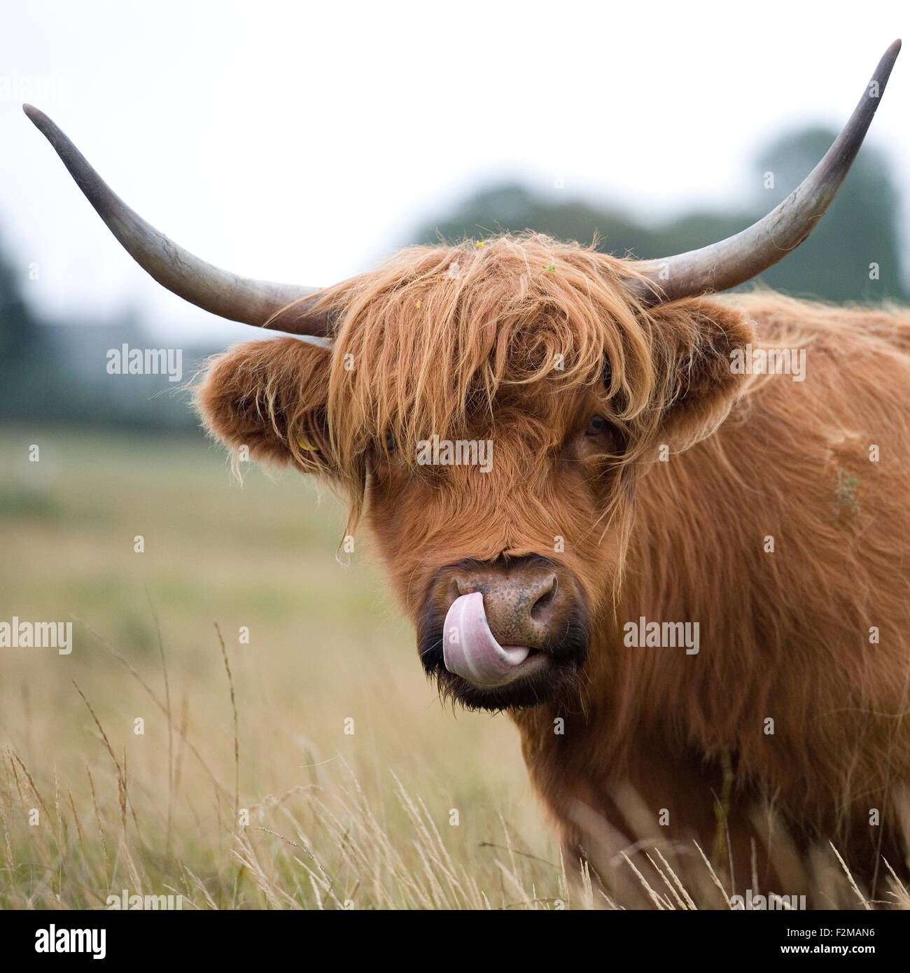 highland cow licking nose - Stock Image