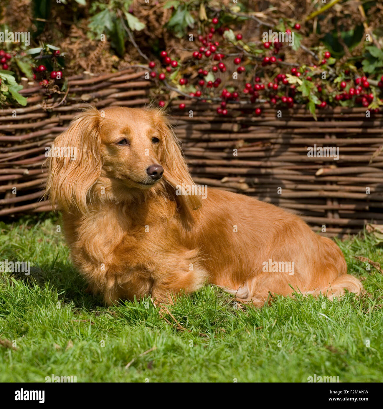 miniature longhaired dachshund stock photo 87728645 alamy