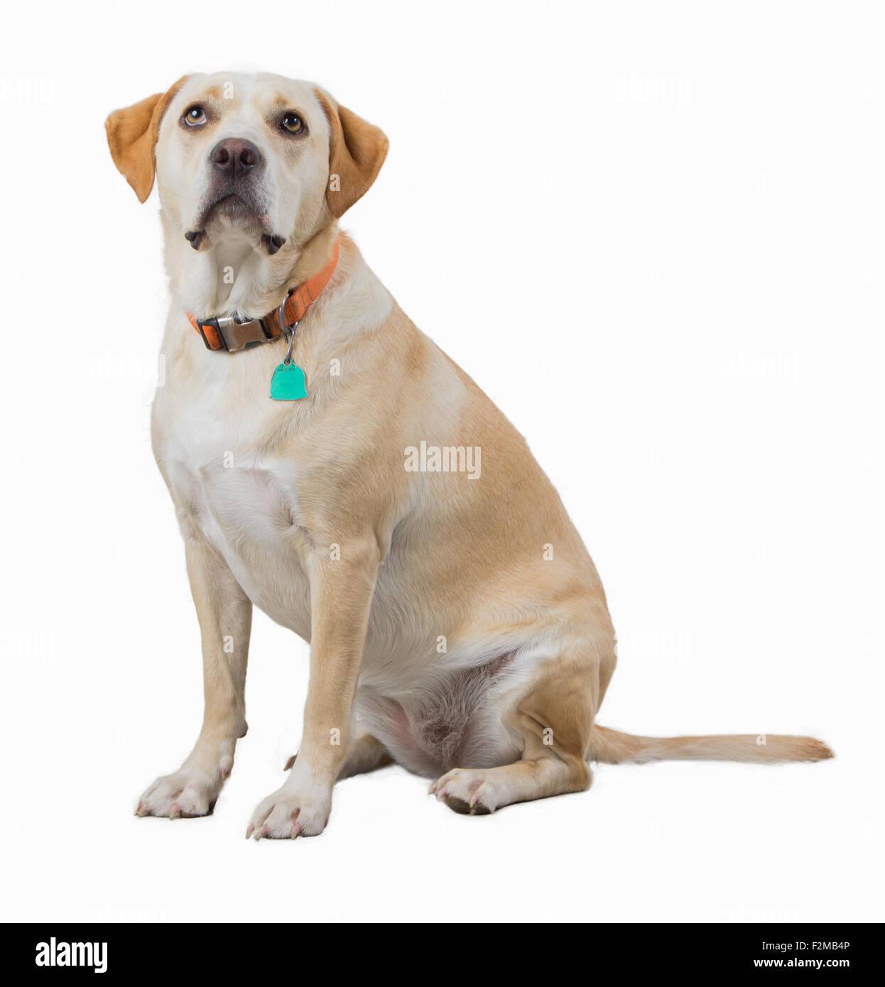 Yellow dog isolated on white - Stock Image