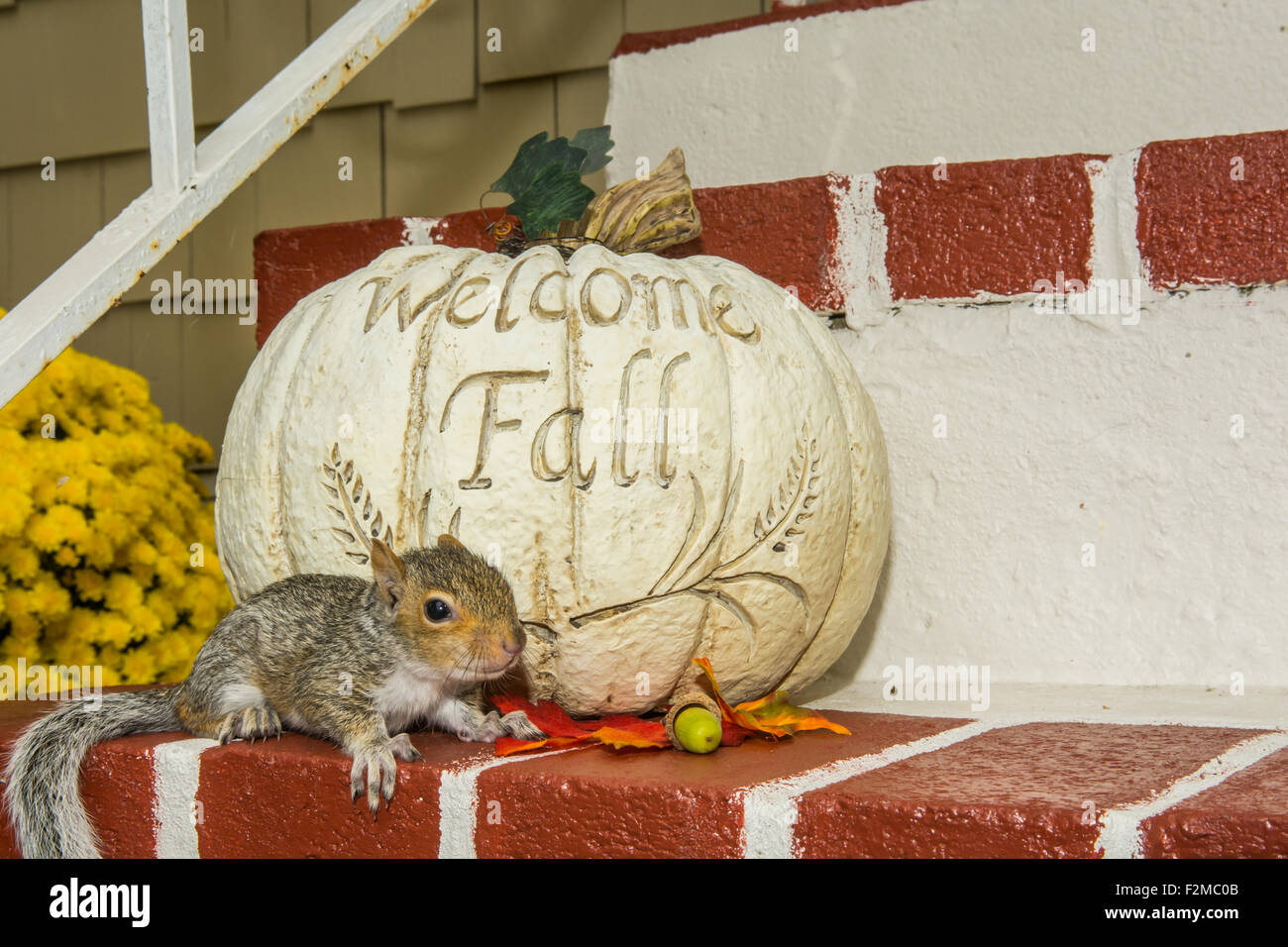 Baby Gray Squirrel Playing with a Pumpkin Stock Photo