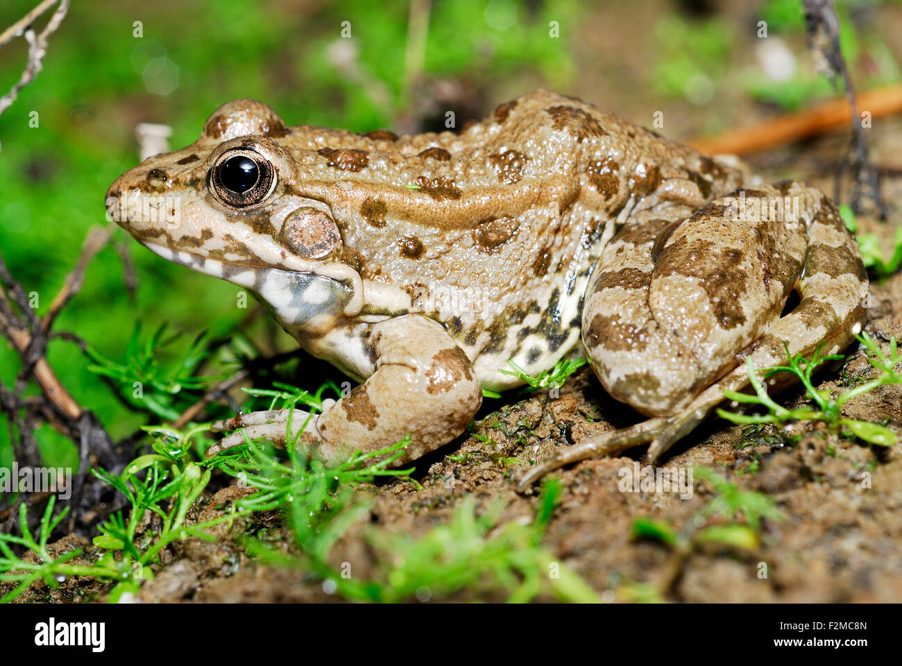 Green common frog (Pelophylax perezi) in a pond of Valdemanco, Madrid, Spain - Stock Image