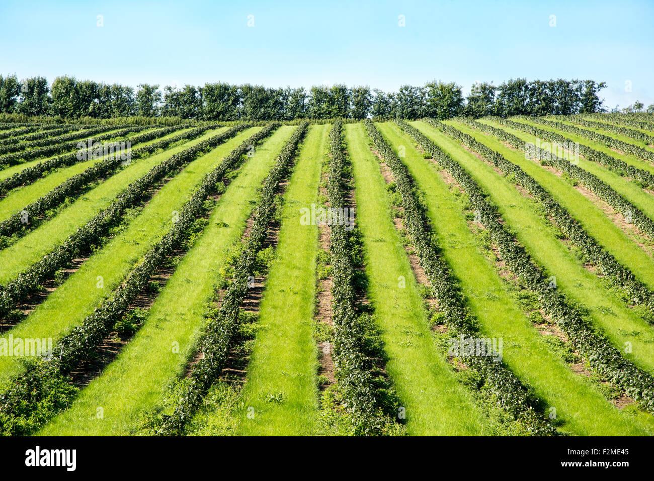 Rows of soft fruit plants create a bold pattern in a field near Faversham, Kent. Stock Photo