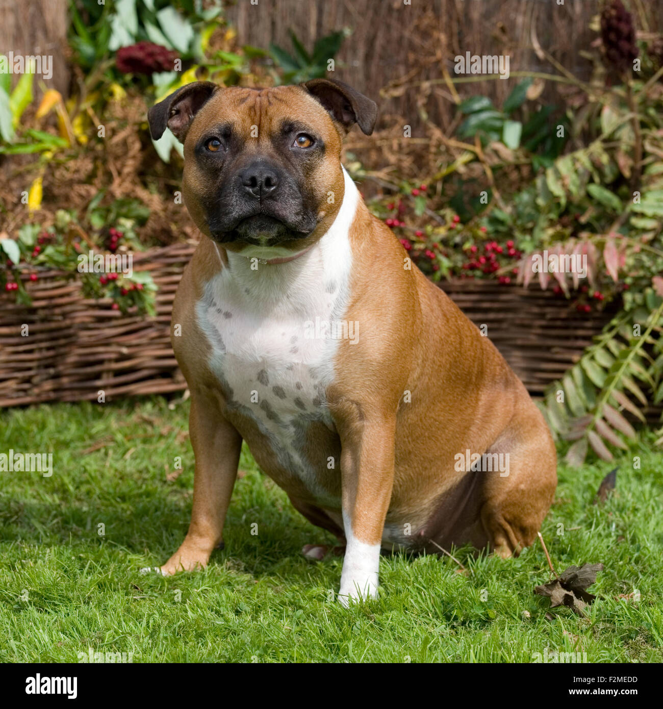staffordshire bull terrier, sitting dog - Stock Image