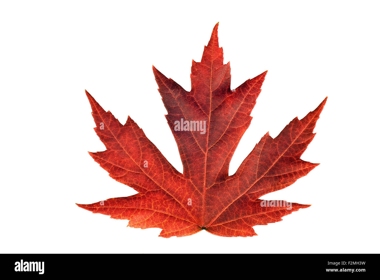 Full size rendering of beautiful Japanese maple leaf during Autumn season brightly colored on white background. - Stock Image