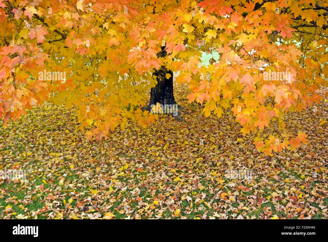 Beautiful Autumn Maple Tree in Horizontal Format - Stock Image