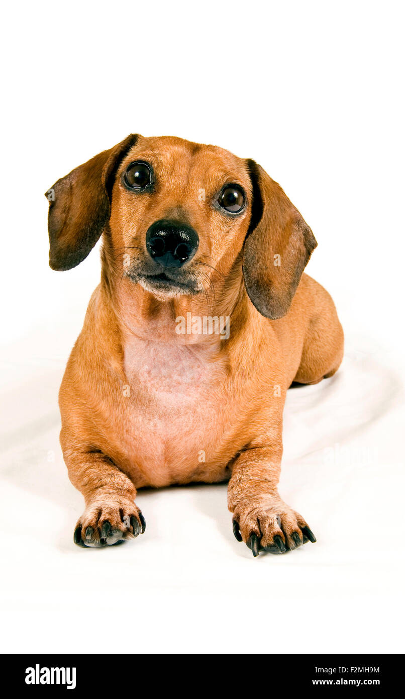 Miniature Dachshund Laying Down With Head Tilted And Looking Curious. - Stock Image