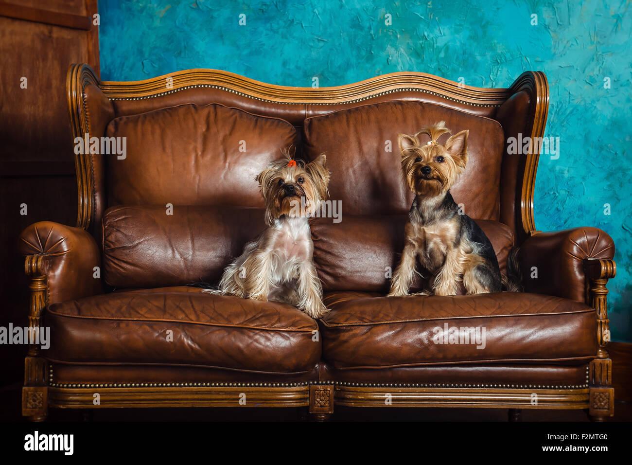 terriers on a brown sofa in blue vintage bathroom - Stock Image