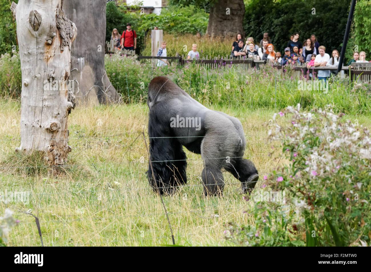 The western lowland gorilla (Gorilla gorilla gorilla) at the ZSL London Zoo, London England United Kingdom UK - Stock Image