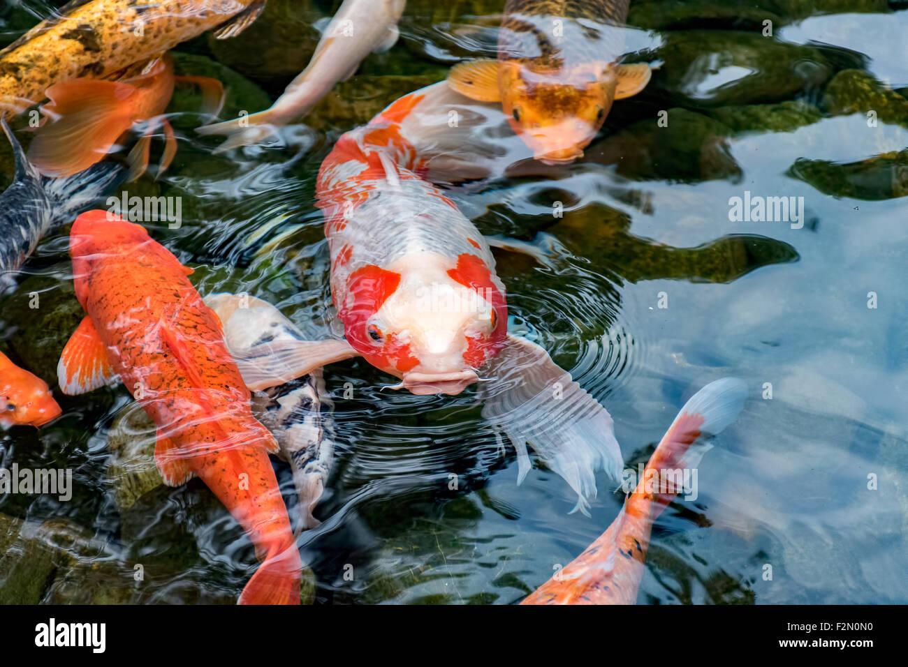 Carp fish stock photos carp fish stock images alamy for Koi carp pond