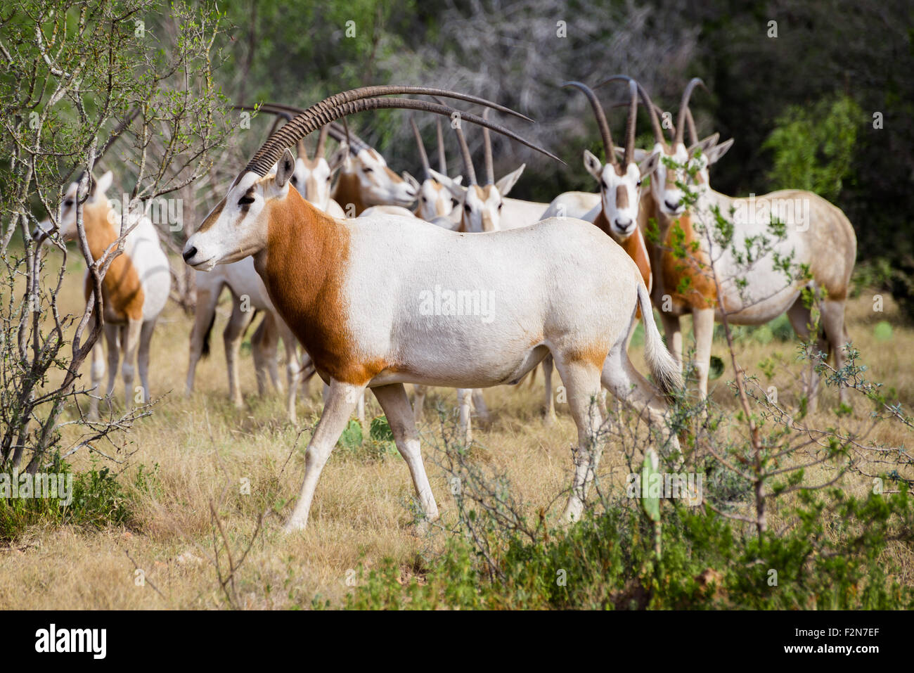 Wild Scimitar Horned Oryx Bull walking to the left in front of the herd. These animals are extinct in their native - Stock Image