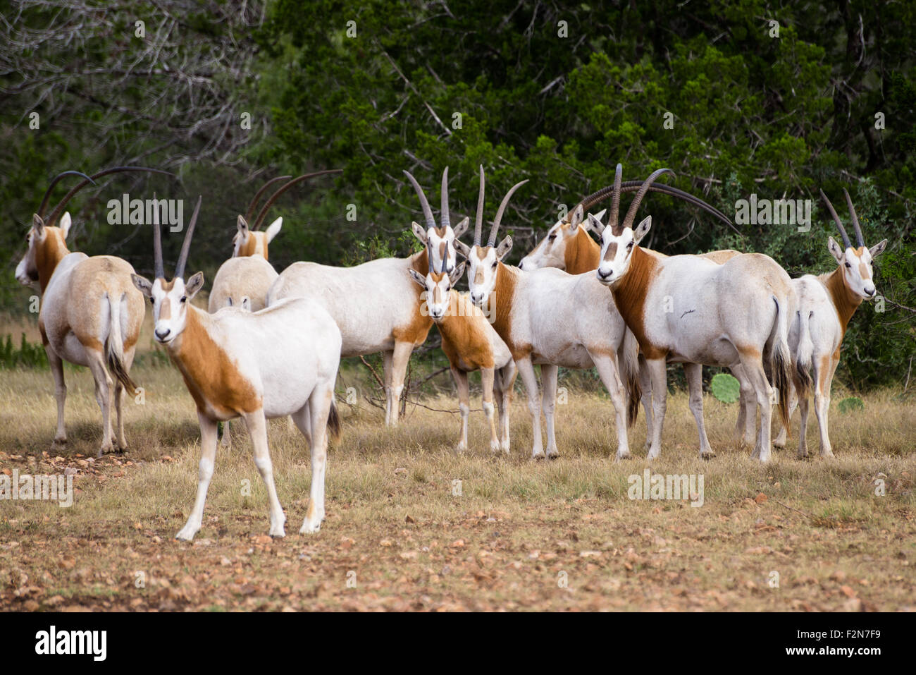 Wild Scimitar Horned Oryx herd. These animals are extinct in their native lands of Africa. - Stock Image