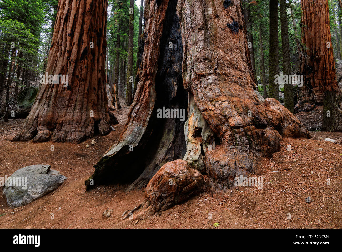 Giant Sequoias Forest in California Sierra Nevada Mountains, United States. - Stock Image