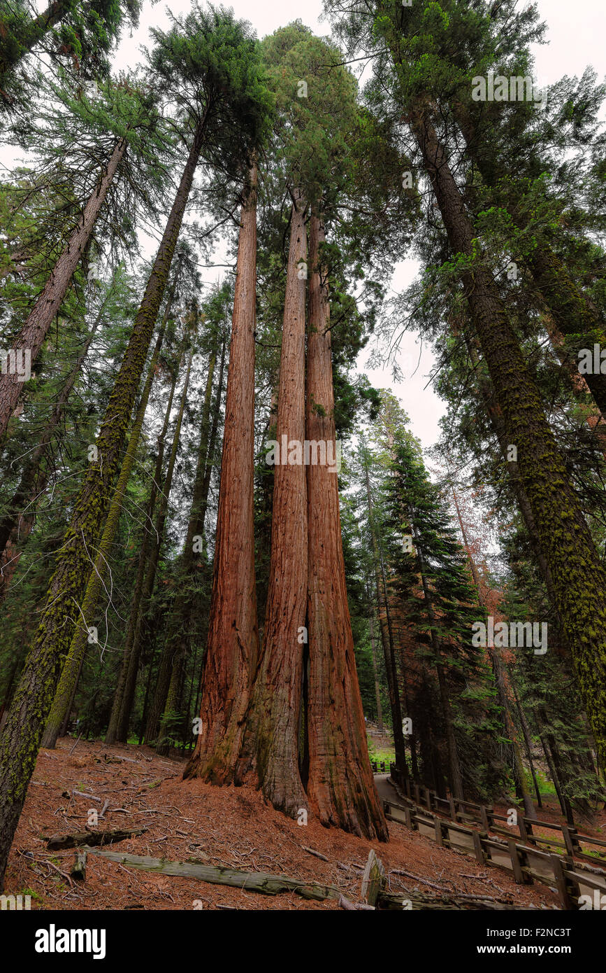 Giant Sequoias Forest. Sequoia National Forest in California Sierra Nevada Mountains, United States. - Stock Image