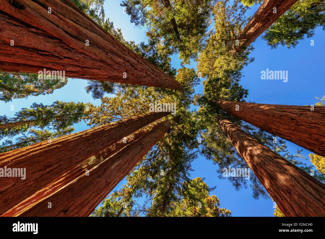 Giant trees closeup in Sequoia National Park, California - Stock Image