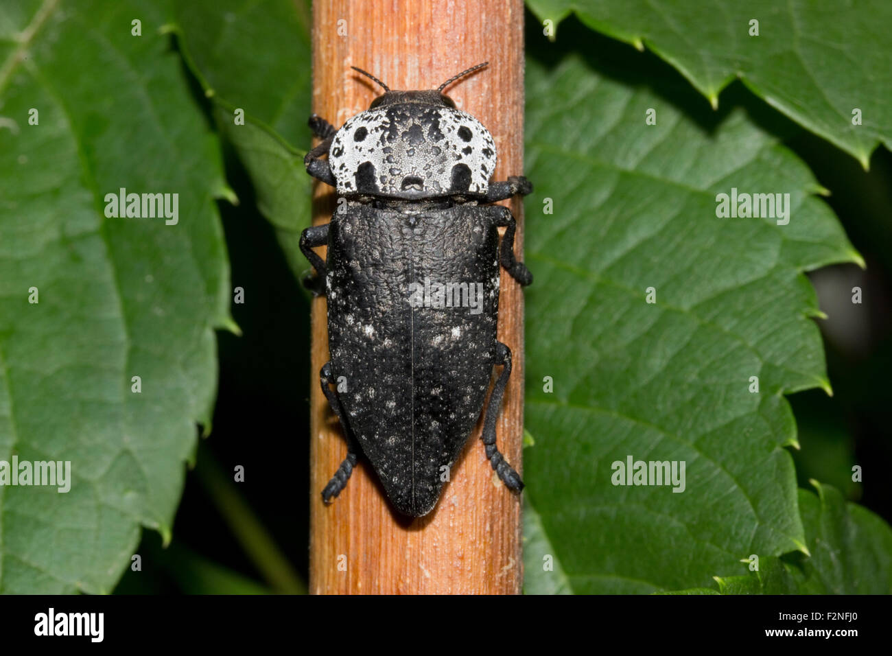 microphotograph of an sp. Capnodis cariosa (english name: Metallic wood-boring beetle) resting on a branch. - Stock Image