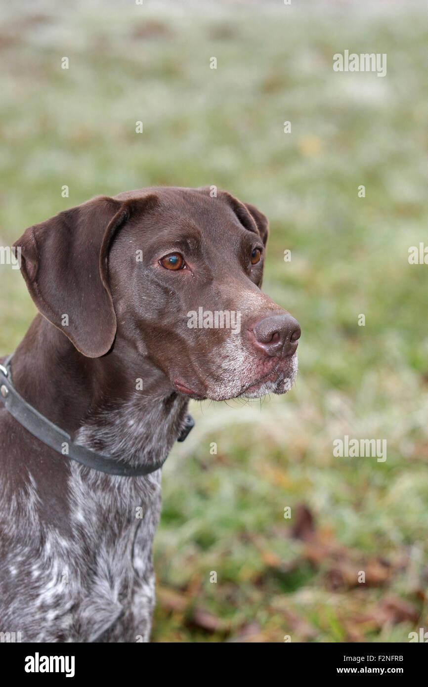 German Shorthaired Pointer, hound, portrait, Lower Austria, Austria - Stock Image