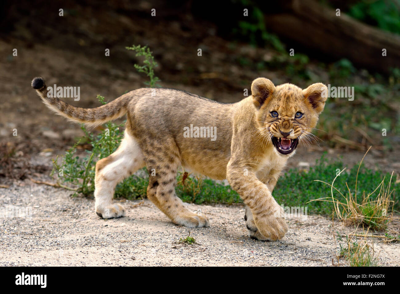 Young lion (Panthera leo), snarling, captive - Stock Image