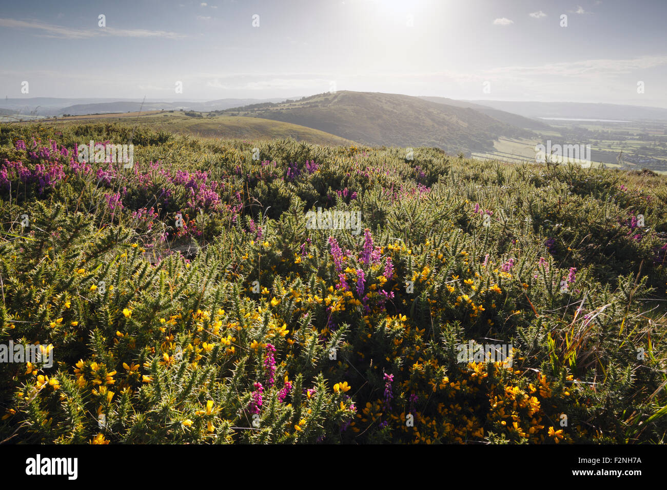 Heather and Gorse on Crook Peak. The Mendip Hills. Somerset. UK. - Stock Image