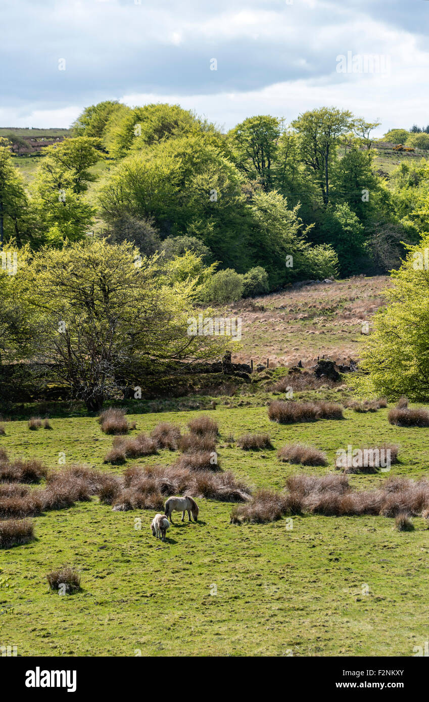Wild horses in a landscape at the Dartmoor National Park, Devon, England, UK - Stock Image