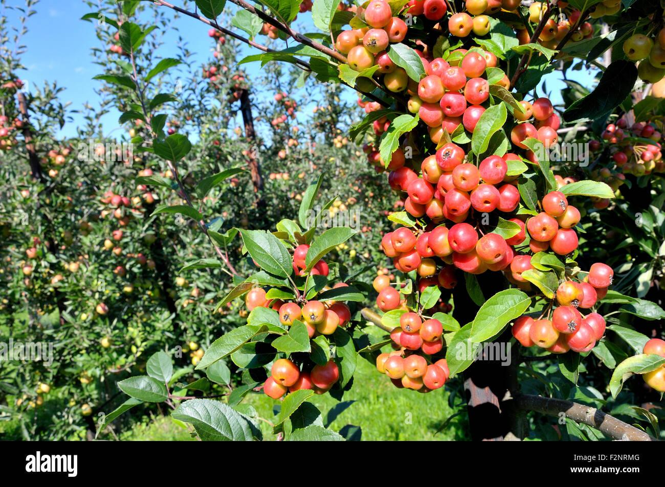 Boughton Monchelsea village, Maidstone, Kent, UK. Commercial apple orchard. Crab apple 'pollinator' trees - Stock Image