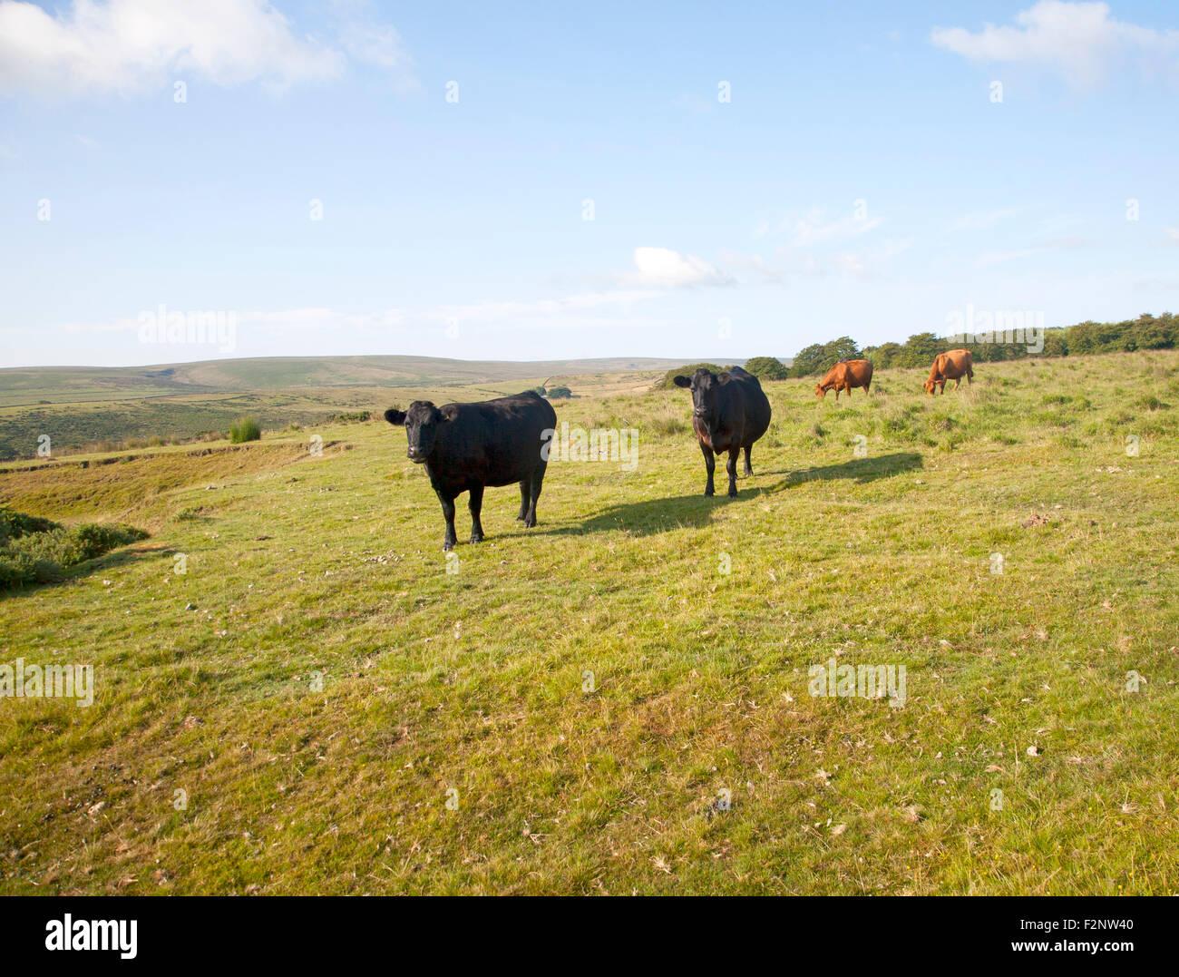 Extensive Farming Livestock Cattle Grazing On Moorland Near Stock Photo Alamy