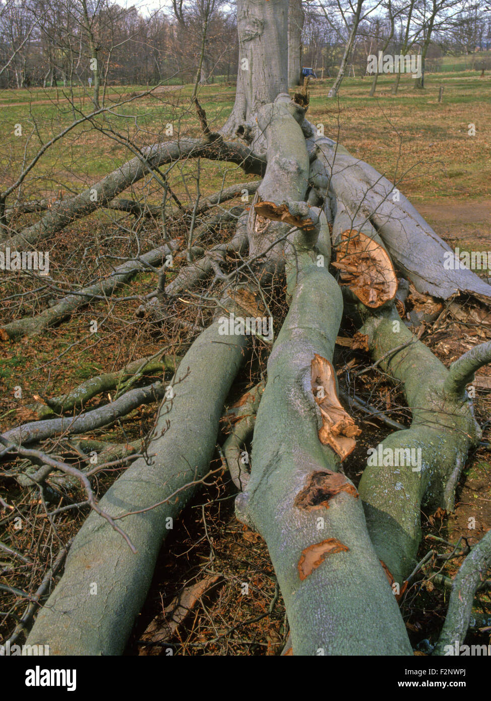 Storm wind damaged tree beech shattered in high winds UK South of England - Stock Image