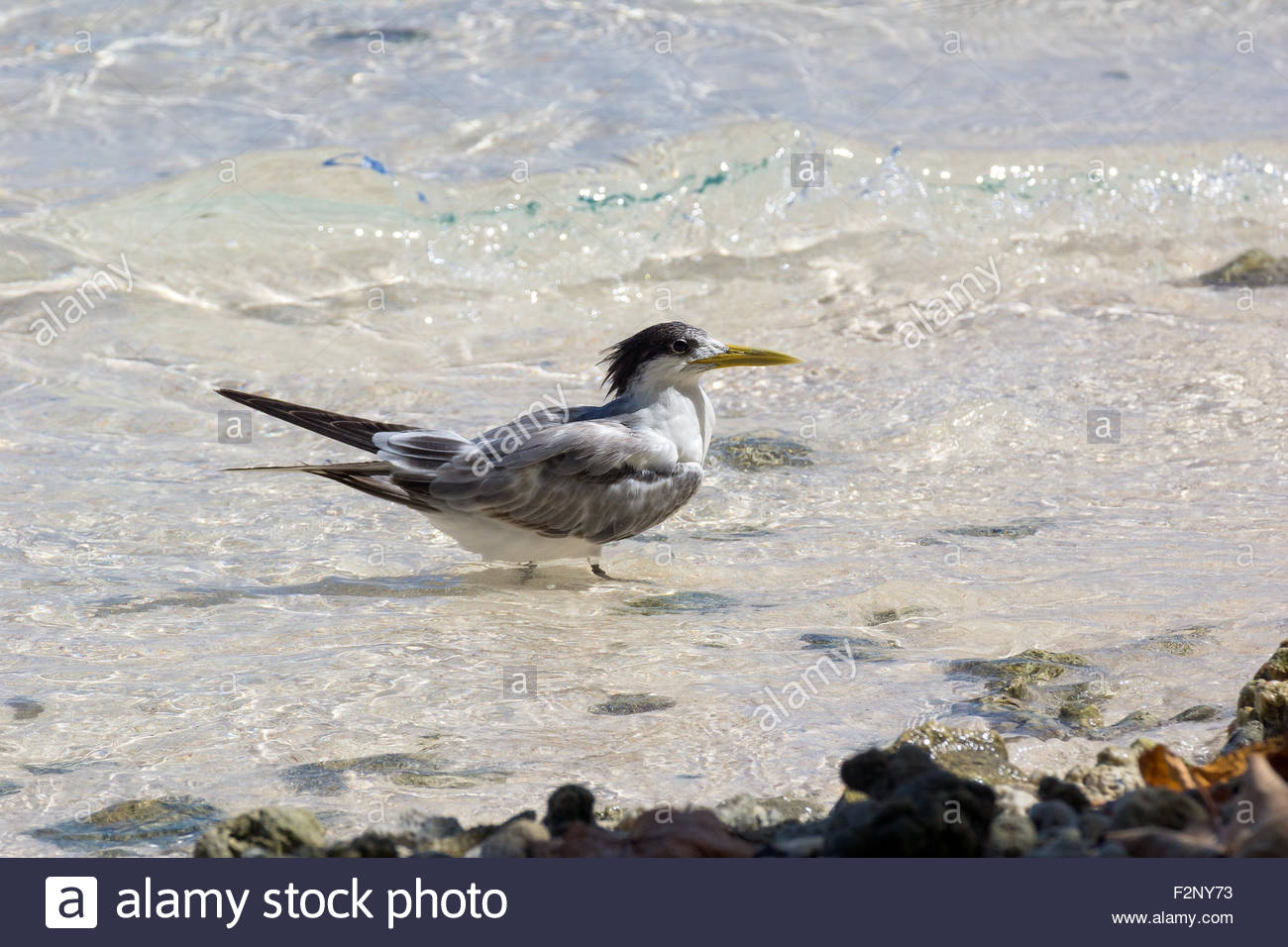 Greater crested tern - Thalasseus bergii - also known as crested tern or swift tern Stock Photo