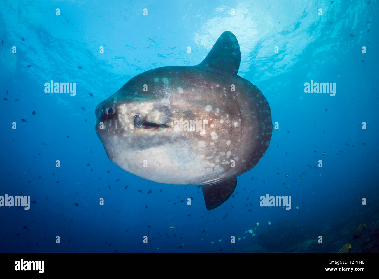 Mola Mola Fish Also Known As The Sunfish From Bali