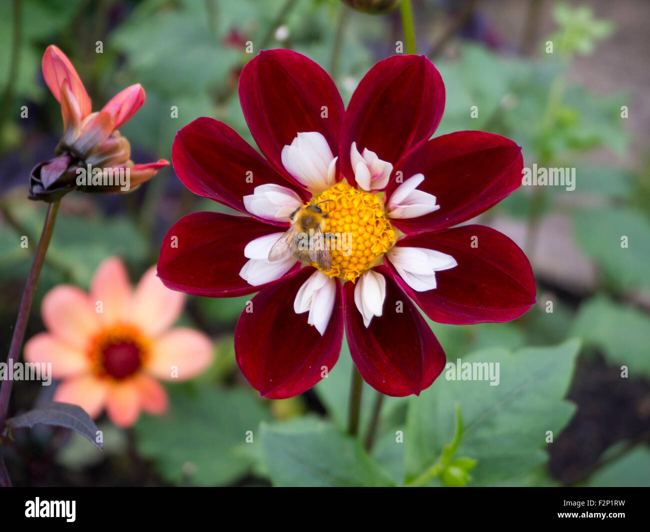 Varieties of dahlia blooms stock photos varieties of dahlia blooms varieties of dahlia blooms in a beautiful gardenrmine petals with white ruffle and yellow izmirmasajfo