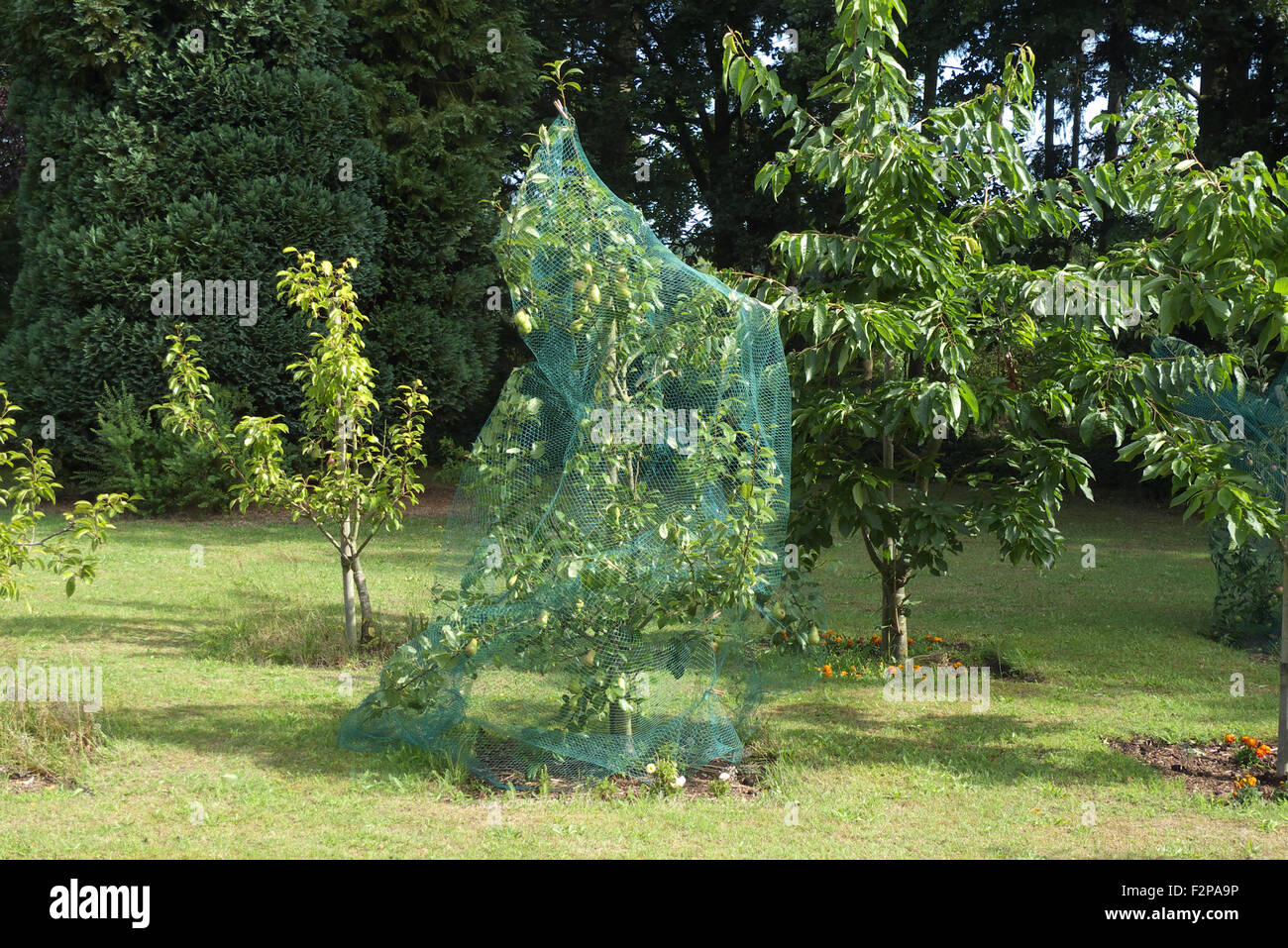 Pear tree with netting to keep birds off the fruit, Netherlands. - Stock Image