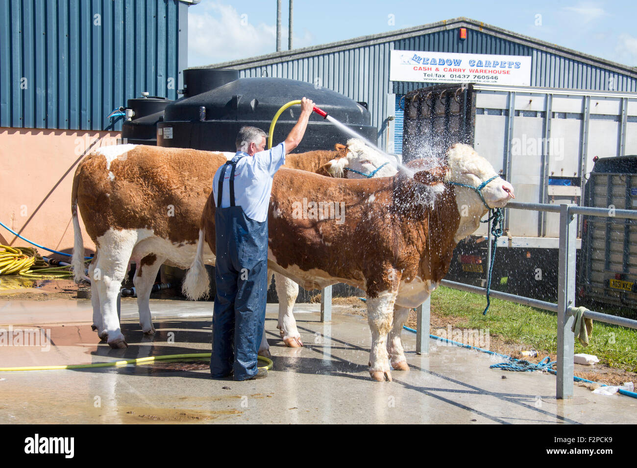 Bull cattle being washed with water hose. - Stock Image