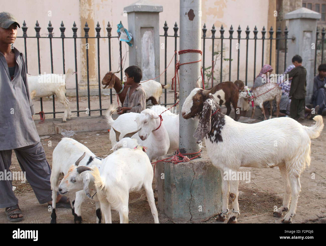 Goats for sacrifice are being selling on a footpath located in Pakistan Chowk area, on the occasion of Eid-ul-Azha Stock Photo