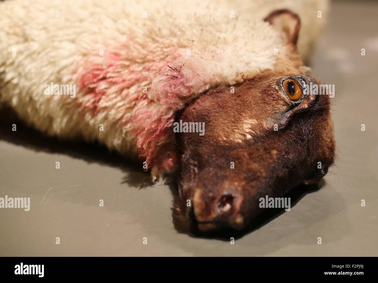A slaughtered sheep, part of a museum display. - Stock Image