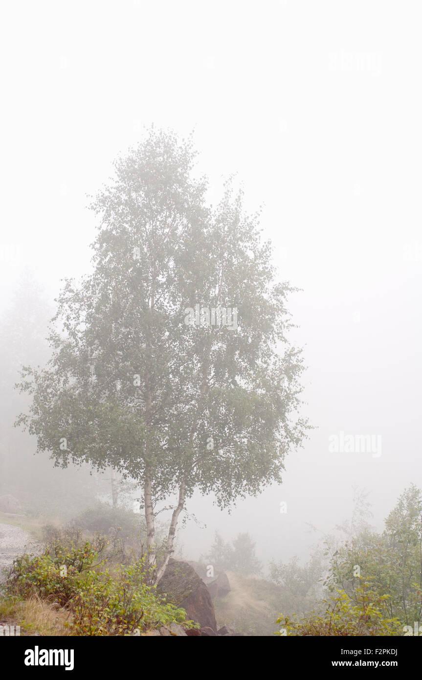 Silver birch, Betula pendula, near Laparan lake in a foggy day. French Pyrenees. Ariege. France. Stock Photo