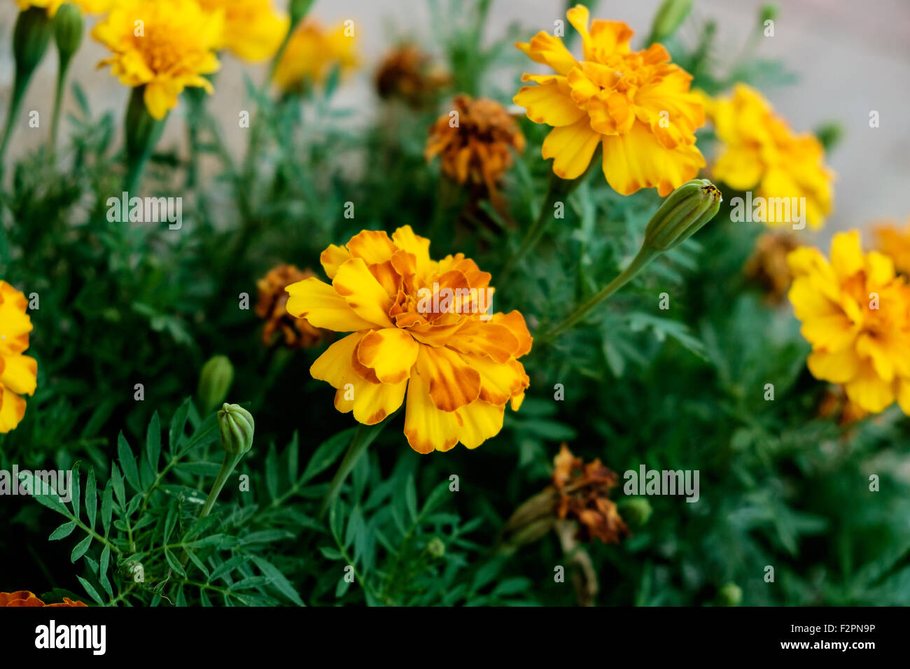 Yellow And Orange French Marigolds Tagetes Patula In A Flower Bed